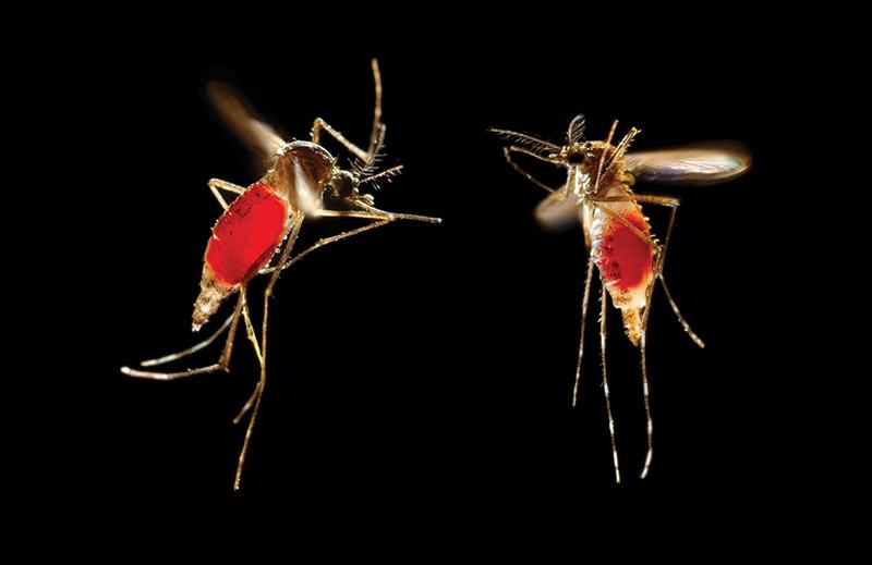 fêmea do Aedes aegypti