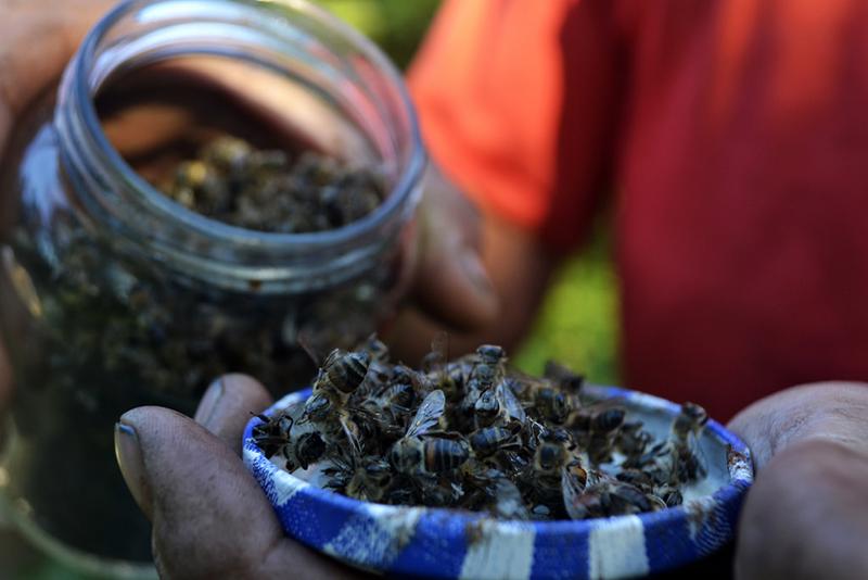 2016 o MST registrou a mortandade de abelhas no RS, na região da Campanha. À época o produtor João Camargo registrou a perda de todas as colmeias em três horas(Foto: MST)