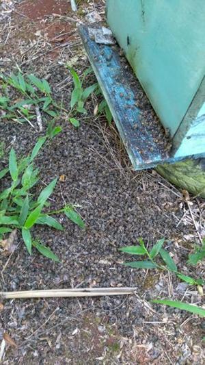 Morte das abelhas no RS é registrada pelos apicultores Foto: Arquivo Pessoal